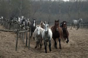 Hästflock på Puztan i Ungern